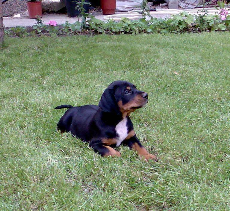brfk-bulgarian-scenthound-little-puppy